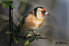 GOLDFINCH //  CARDUELIS CARDUELIS  (13cm) (tom webzell) Tags: naturethroughthelens