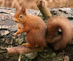 Red Squirrel (eric robb niven) Tags: ericrobbniven scotland dundee redsquirrel wildlife nature cycling tentsmuir forest springwatch