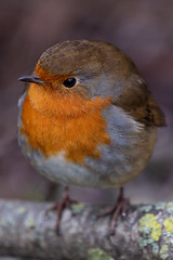 Red Robin (Pawel Skokowski) Tags: bird birds songbird birdwatching robin red portrait animal nature erithacus wild wildlife rubecula branch cute orange breast redbreast feather small perched beak background beautiful close outdoors friendly isolated beauty