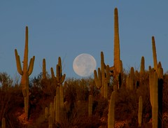 "Sunrise with a setting ""Super Moon"" over Saguaro Cacti; San Pedro River Valley, Arizona (Lon&Queta) Tags: 2016 arizona cacti desert flickr gps landscapes moon pinalcounty saguarocactuscarnegieagigantea sanpedrorivervalley usa unitedstatesofamerica"