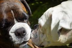 Wake up Kahn (busyBlueMtsGranny) Tags: ddogchal boxer dog