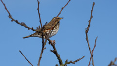 Redwing (1/4) : my winter visitors (2018) (Franck Zumella) Tags: redwing red wing bird oiseau rouge rousse grive mauvis visitor visiteur hiver winter blue sky ciel bleu tree arbre nature wildlife animal thrush