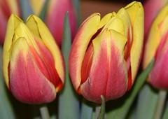 Tulips (rustyruth1959) Tags: leaf stem nature pink yellow petals macro closeup bloom flower tulip tulipa yorkshire england uk sigma105mmmacro nikond5600 nikon