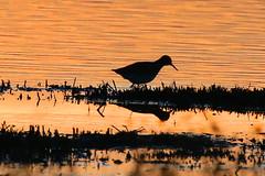 Redshank Silhouette (Roy Lowry) Tags: redshank tringatotanus deccapools riverdee sunset