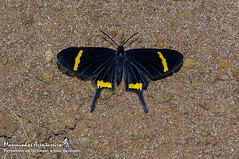 Barbicornis basilis (Godart, [1824]) (Marquinhos Aventureiro) Tags: barbicornis basilis borboleta butterfly riodinidae ldlife vida selvagem natureza floresta brasil brazil hx400 marquinhos aventureiro marquinhosaventureiro