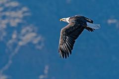 Eagle in Flight #41 (lennycarl08) Tags: baldeagle eagle tulelakenwr lowerklamathnwr birdofprey