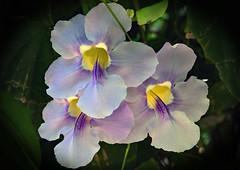 Thunbergia (Uhlenhorst) Tags: 2018 australia australien flowers blumen blossoms blüten travel reisen