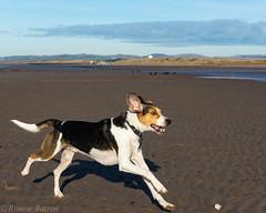 photobombed (RCB4J) Tags: ayrshire ayrshirecoast babygrace clydecoast firthofclyde irvinebeach jakob rcb4j ronniebarron scotland siameselurcher sony1650mmf28dtssm sonyslta77v trailhound art dobermanterrier dogwalkingphotography dogs landscapes photography