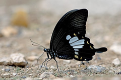 Papilio nephelus - the Yellow Helen (BugsAlive) Tags: butterfly mariposa papillon farfalla 蝴蝶 dagvlinder 自然 schmetterling бабочка conbướm ผีเสื้อ animal outdoor insects insect lepidoptera macro nature papilionidae papilionephelus yellowhelen blackandwhitehelen papilioninae wildlife chiangdaons เชียงดาว chiangmai liveinsects thailand ผีเสื้อในประเทศไทย thailandbutterflies bugsalive nikon105mm ผีเสื้อหางติ่งชะอ้อน