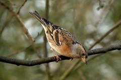 Brambling (hedgehoggarden1) Tags: brambling birds rspb wildlife nature sonycybershot norfolk eastanglia uk bird sony creature animal trees branches
