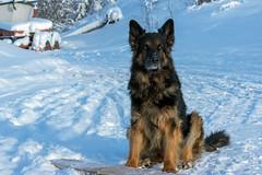 _ROS5208-Edit.jpg (Roshine Photography) Tags: yukonriver dog yukonquest dawson fetch winter environmental snow dawsoncity yukon canada ca
