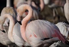 (nadiaorioliphoto) Tags: flamingos fenicotteri uccelli animals aves oiseaux natura fauna birds