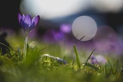 Light me up (VintageLensLover) Tags: vorfrühling krokus crocus natur outdoor lila grün makrofotografie macro dof schärfentiefe schärfeverlauf bokeh bokehlicious sonya7iii samyang135mmf2 sammythebeast
