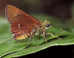 Decinea dama? (hippobosca) Tags: insect lepidoptera butterfly peru macro decineadama hesperiidae skipper
