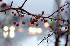 rainy winter day. (55/365) (ryanbengtson) Tags: concord ice snow berries winter newhampshire concordnh bokeh