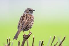 Dunnock (Shane Jones) Tags: dunnock hedgesparrow bird gardenbird wildlife nature nikon d810 500mmf4 tc14eii