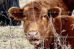 HOLY COW IS ALL I CAN SAY (fstopfinatic) Tags: panasoniczs70 closeup farm farmer cow cattle herd pasture eyes nose ears tongue fur hair barnyard fence beef winter