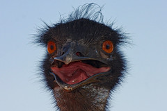 "Emu (Uhlenhorst) Tags: 2011 australia australien animals tiere birds vögel travel reisen ""lovelymotherearth"""