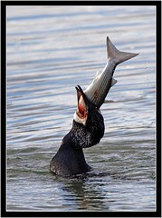 CORMORANT WITH GREY MULLET (PHOTOGRAPHY STARTS WITH P.H.) Tags: cormarant grey mullet nikon d500 500mmafs vr kingsbridge estuary gitzo mk5 wimberley gimbal