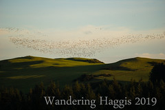 Geese (wanderinghaggis) Tags: birds geese canadian scene sony scotland show a6000 animal event evening experement outdoor image out outside outdoors photography atmospheric skyline day dusk flying fly landscape light exposed visual view bird nature natural motion movement magical