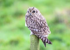 Short eared owl (badger2028) Tags: short eared owl asio flammeus