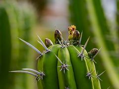 Mit Vorsicht rangehen ... ;-) Please zoom it (mohnblume2013) Tags: fuerteventura kanaren bokeh blüte grün exotisch