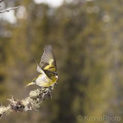 Siskin, Grønnsisik, Norway (KronaPhoto) Tags: 2018 vår natur siskin grønnsisik sisik bird fugl nature norway carduelisspinus