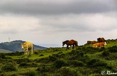 SERRA DA CAPELADA (RLuna (Instagram @rluna1982)) Tags: montaña lacoruña galicia vaca caballo animal outdoor ganado playa españa viaje vacaciones holidays rluna rluna1982 canon instagramapp igersmadrid igersspain europa europe unioneuropea serradacapelada