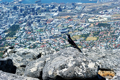 Bird (Steven.Harrison) Tags: southafrica capetown honeymoon city view bird wildlife tourist travel travelphotography adventure landscape landscapephotography 2019 water rock mountain sky