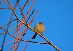 Bushtit (Neal D) Tags: bc abbotsford milllake bird bushtit psaltriparusminimus