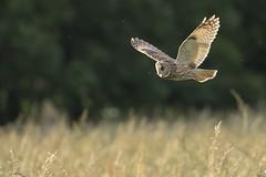 Hibou moyen-duc (Richard Holding) Tags: asiootus m43 moyenduc olympus omd owl hibou bird oiseau oiseauenvol oiseaudeproie birdinflight bif eure normandie rapace