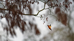 Speedy (Alexandre LAVIGNE) Tags: hdpentaxdfa150450mm martinpêcheurdeurope pentaxk1 2019 faune hiver ambiance bird k1 nature oiseaux fonsomme picardiehautsdefrance