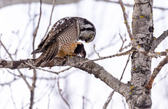 Northern hawk-owl (Chouette épervière) (miro_mtl) Tags: attente chouetteépervière d7200 estrie michelrochon nikon nikond7200 northernhawkowl rockforest sherbrooke surniaulula tamron tamronsp150600mm amerique arbres bird birdofprey bluesky canada chasse chasseur chouette ciel clouds cloudysky feathers flight hiver hunter nature oiseau oiseaudeproie owl patience proie quebec raptor sky waiting wildlife winter