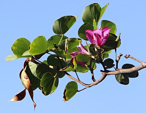 Bauhinia variegata II