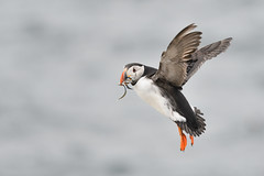 Puffin in flight (adbecks) Tags: d500 300 pf puffin flight uk