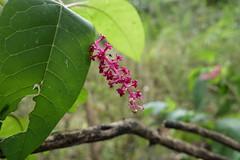 Pink stalk (danielhast) Tags: annarbor michigan arboretum nicholsarboretum plant pink leaf closeup macro