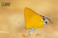 The Dawnas Royal - หางคู่เขากะเหรี่ยง (Antonio Giudici Butterfly Trips) Tags: srilannanationalpark chiangmai thailand thedawnasroyal หางคู่เขากะเหรี่ยง lycaenidae theclinae pseudotajuriadonatanaarooni