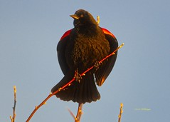 Red Winged Blackbird Portrait (wfgphoto) Tags: redwingedblackbird perched sidelight portrait pose branch sky