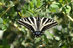 Swallowtail Butterfly in Ramona, California on March 24, 2019 (Ramona Pioneer Girl) Tags: coth5 resting flyer flier insect swallowtail butterfly swallowtailbutterfly naturephotography nature wildlife spring2019 california ramonacalifornia panasonic lumixfz300 lumix daytime daylight sunny day pretty love lovenature panasoniclumix panasoniclumixfz300 panazonic fz300 okayquality goodquality birding prettybird birdphotography scape sun light hobby spring springtime