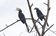 pair of black hornbill (koifarmer) Tags: blackhornbill malaienhornvogelpaar sabah borneo malaysia malaienhornvogel hornvogel hornbill black bird wildlife jungle