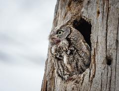"""""""Screeching"""" Eastern screech owl (dwb838) Tags: screechowl openmouth"""