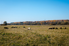 Sheep graze in the autumn in a meadow in Russia (ivan_volchek) Tags: agriculture animal autumn cattle contrast country countryside cute farm farming field flock flockofsheep grass graze grazeland grazing green greenhills group herd lamb landscape lightrain livestock mammal meadow nature russia transmissionline