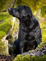 Lady in Moss (uwe.kast) Tags: labrador labradorretriever labradorredriver hund haustier dog bichou moos moss panasonic lumix g9