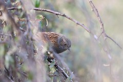 From Out Of A Hedge (MedievalRocker) Tags: dunnock hedge