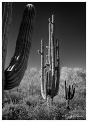 - The Giant - (claudiov958) Tags: arizona biancoenero blancoynegro cavecreek claudiovaldés černýabílý noiretblanc pretoebranco saguaro sony7rm3 sonyfe2470mmf4zaoss spurcrosstrail blackwhite cactus czarnyibiały ngc schwarzundweiss черноеибелое sonorandesert