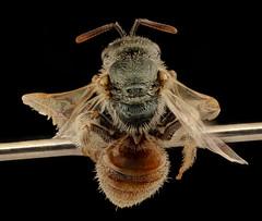Lasioglossum pictum, f, back, Pennington Co., SD_2018-08-15-18.24.43 ZS PMax UDR (Sam Droege) Tags: zerenestacker stackshot geologicalsurvey unitedstatesgeologicalsurvey departmentoftheinterior droege biml beeinventoryandmonitoringlaboratory bug bugs canon closeup macro insect patuxentwildliferesearchcenter pwrc usgs dofstacking stacking entomologist canonmpe65 taxonomy:binomial=lasioglossumpictum animals animal bee bees apoidea hymenoptera pollinator nativebee entomology macrophotography usinterior badlandsnationalpark badl lasioglossum pictum southdakota dakota