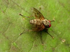 Root-maggot Fly (treegrow) Tags: rockcreekpark washingtondc nature lifeonearth raynoxdcr250 arthropoda insect diptera fly anthomyiidae
