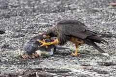 Striated Caracara (Linda Martin Photography) Tags: phalcoboenusaustralis bird saundersisland striatedcaracara southatlanticocean wildlife falklandislands nature coth coth5 ngc npc