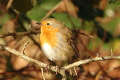 Robin (hedgehoggarden1) Tags: robin birds wildlife nature rspb sonycybershot norfolk eastanglia uk sony bird