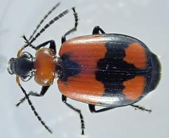 Lebia nigripes, Dejean 1825 (Coleoptera Carabidae Harpalinae Lebiini) (Elena Regina) Tags: lebia nigripes coleoptera carabidae harpalinae lebiini lebianigripes animalia insecta hexapoda arthropoda dicondylia